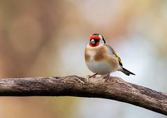 Goldfinch (susie2778) Tags: olympus omdem1mkii olympusm300mmf40 goldfinch bokeh shallowdof