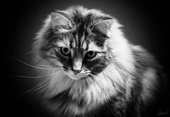 Amy Farrah Fowler (LACPIXEL) Tags: amyfarrahfowler amy chat cat gato maincoon pet mascota animal nikon nikonfr elinchrom flickr lacpixel nes