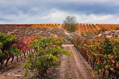 Otoño y el color de los viñedos (T. Dosuna) Tags: fotografíadepaisaje paisajesdeespaña landscape viñedos larioja espaciosnaturales españa spain tdosuna nikon d7100