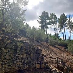 stone walls and pines (sacipere) Tags: valedemoses amieira oleiros portugal pines pinien