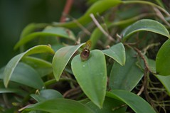 Pleurothallis sp. (douneika) Tags: pleurothallis sp orchidea orchidaceae orquidea orchid orchidee taxonomy:family=orchidaceae taxonomy:binomial=pleurothallissp