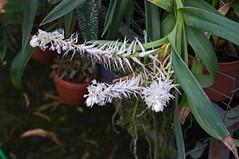Mycaranthes vanoverberghii (Eria vanoverberghii) (douneika) Tags: eria sp orchidea orchidaceae orquidea orchid orchidee taxonomy:family=orchidaceae taxonomy:binomial=eriasp mycaranthes vanoverberghii