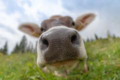 Nose hole 🐮 (Joachim Dobler) Tags: nature natur wildlife animal cute naturephotography wildlifephotography cow ultrawide canon 1635 funny nose hole montafon ruminant