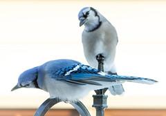 Pair of Blue Jays (mahar15) Tags: jay birds outdoors wildlife bluejay pairofbirds nature