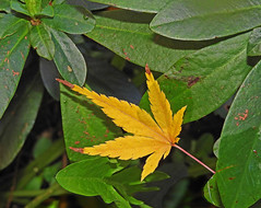Yellow acer leaf:  7.11.19. (VolVal) Tags: dorset bournemouth boscombe garden leaves november autumn
