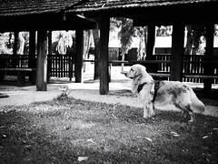 GFX2137 - Retriever (Diego Rosato) Tags: sney golden retriever cane dog animale animal pet bianconero blackwhite fuji gfx50r fujinon gf63mm rawtherapee