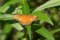 Gulf Fritillary (SReed99342) Tags: florida jacksonville gulf fritillary butterfly