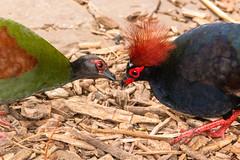 Roelroel (Ralph Apeldoorn) Tags: bird crestedpartridge rollulusrouloul roulroul vlindertuin vlindorado vogel gekuifdebospatrijs waarland noordholland nederland
