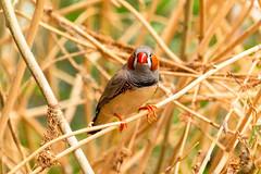 Zebravink (Ralph Apeldoorn) Tags: bird taeniopygiaguttata vink vlindertuin vlindorado vogel zebrafinch zebravink waarland noordholland nederland