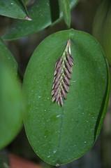 Pleurothallis pectinata (douneika) Tags: pleurothallis pectinata orchidea orchidaceae orquidea orchid orchidee taxonomy:family=orchidaceae taxonomy:binomial=pleurothallispectinata
