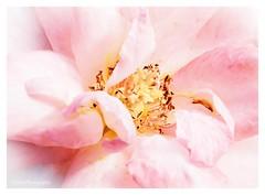 Die Ros' (Fay2603) Tags: fujifilmxt1 fuji fujifilm natur flowers roses aquarell macro