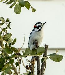 Downy Woodpecker - male (mahar15) Tags: maledownywoodpecker wildlife nature birds outdoors downywoodpecker malewoodpecker backyardbirds woodpecker