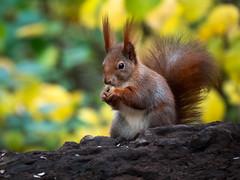Naturelove (holgerreinert) Tags: 2019 50200 eichhörnchen elmarit hes50200 leica ludwigsburg monrepos november squirell vario naturelove