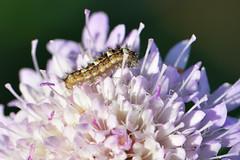 L'intruso (luporosso) Tags: natura nature naturaleza naturalmente nikon nikond500 nikonitalia macro closeup bruco insect insetto fiori fiore flowers fleur flor