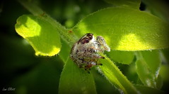 Cute and Cuddly Jumping Spider (Lani Elliott) Tags: spider insect nature naturephotography green leaves macro upclose closeup light bright shadows bokeh jumpingspider cute cuddly furry hairy textured patterned greenbackground lanielliott eyes