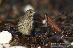 Rock Pipit (Anthus petrosus) (gcampbellphoto) Tags: bird nature rock wildlife north pipit passerine anthus petrosus gcampbellphoto ireland animal outdoor northern antrim