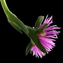 Ice Plant (Pixel Fusion) Tags: nature nikon flora flower aperture macro d600 photoshop iceplant