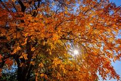 Es liegt der Herbst auf allen Wegen, In hundert Farben prangt sein Kleid, Wie seine Trauer, seinen Segen Er um sich streut zu gleicher Zeit. (DOKTOR WAUMIAU) Tags: fuji fujifilm fujigear fujilove fujix fujixt20 lightroom myfujifilm xt20 xf1024 xf1024mm autumn leaves vienna wien backlit