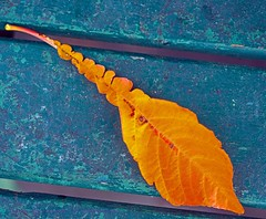 Gold on blue (L@nce (ランス)) Tags: gold golden leaf autumn fall bench macro nikon victoria nikkor britishcolumbia micro canada