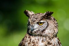 Grand Duc Afriquain (Joseph Trojani) Tags: hiboux chouette owl regard oeil yeux eyes look plume feather oiseaux rapace bird predatory predator portrait vert green animal animaux nature nikon d750