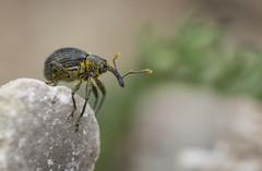 Curculionidae (Benjamin Fabian) Tags: curculionidae weevil rüssel käfer rüsselkäfer coleoptera insect insecta hexapoda hexapod arthropod arthropoda sony a6000 sel90 raynox close up macro makro