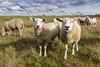 Sheep (alexknip) Tags: schapen schaap sheep oss noordbrabant nederland