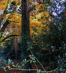 The holly and the ivy in autumn (BrooksieC) Tags: holly ivy trees berries gold leaves autumn nature woods ireland belfast northernireland red green