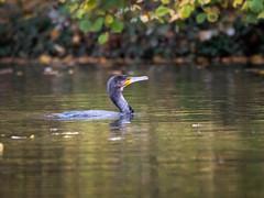 Naturelove (holgerreinert) Tags: 2019 50200 elmarit hes50200 kormoran leica ludwigsburg monrepos november vario naturelove