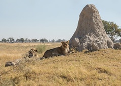 Termite hill with Lions - Panthera Leo (Gary Faulkner's wildlife photography) Tags: lion pantheraleo