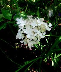 Гортензия метельчатая (lvv1937) Tags: гортензия цветок сад flickreveryday flickrunofficial afeastformyeyespublicgroup flickrenespañol