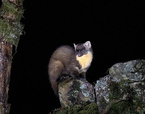 Pine Marten - Night Shoot