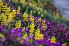 Waikanae Beach Flowers (David Hamments) Tags: nz sunsetwalk waikanaebeach manualfocus135mm