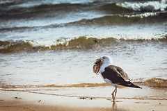 Going home for dinner (Yuri Dedulin) Tags: cape cod ma yuri dedulin seagull nature crab ocean water hunter outdoor bird gulf provincetown herring cove beach landscape wildlife waves seaside walk