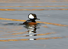 November 7, 2019 - A hooded Merganser enjoys a quiet day. (Bill Hutchinson)