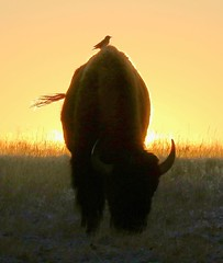 November 6, 2019 - Bison and bird at sunrise. (Bill Hutchinson)