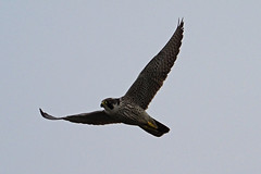 peregrine falcon (DODO 1959) Tags: wildlife peregrinefalcon birds birdofprey raptor flight avian animal outdoor nature fauna olympus omdem1mk2 300mmf4 micro43 x14 wales carmarthenshire britishsteelhide llanelli wwt