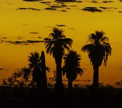Palm Canyon Sunrise (Bill Gracey 25 Million Views) Tags: desert anzaborregodesertstatepark palmcanyon desertpalms desertpalmtrees silhouettes clouds sunrise color colorful camping california