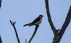_U7A4022 (rpealit) Tags: scenery wildlife nature wallkill river national wildife refuge eastern kingbird bird