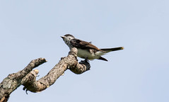 _U7A4057 (rpealit) Tags: scenery wildlife nature wallkill river national wildife refuge eastern kingbird bird