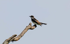 _U7A4054 (rpealit) Tags: scenery wildlife nature wallkill river national wildife refuge eastern kingbird bird
