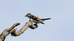 _U7A4056 (rpealit) Tags: scenery wildlife nature wallkill river national wildife refuge eastern kingbird bird