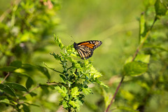 _U7A4059 (rpealit) Tags: scenery wildlife nature wallkill river national wildife refuge monarch butterfly