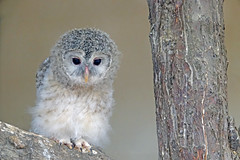 Eagle Owl Chick (Cheryl's Images) Tags: owl chick eagle avianexcellence nationalgeographicwildlife