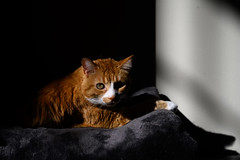 301-365 (Garen M.) Tags: buttercup jerry jojo nikkor2470f28s nikonz6 cats home