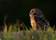 Sun Seeker (T L Sepkovic) Tags: burrowingowl owl raptor birdsofprey floridaburrowingowl florida canonusa canon5dmkiv lenscoat promediagear wildlife wildlifephotography
