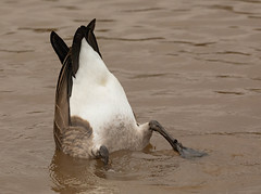 I can find it! (SusieMSB7) Tags: birds bird pond water nature goose