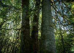 Barnes Creek Trail - Marymere Falls Trail - Lake Crescent, Washington - September 2019 [explored] (Chad Baxter) Tags: nikon d850 2485mm g barnes creek trail marymere falls lake crescent moss forest mountains rainforest rain green lush amazing dreamy cool wet nature wildlife trees water olympic national park