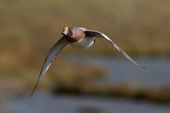 Wigeon (Ed Thorn) Tags: wigeon bird flight essex bif uk nikon