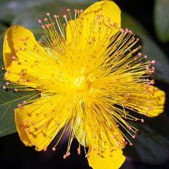 Hypericum (San Francisco Gal) Tags: hypericum stjohnswort flower fleur bloom blossom macro stamen pistil filoli ngc npc