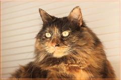 DSC07406 Easy (Olpo2vin) Tags: cat chat yeux eyes regard look félin feline olpo easy poils fourrure redessan 30129 animaldecompagnie vibrisses